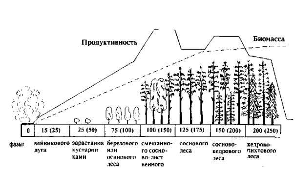 Большой Каталог Рефератов Реферат Динамика экосистем понятие  Рис 1 Схема послепожарной сукцессии со сменой пород в сибирской кедрово пихтовой тайге юг Средней Сибири